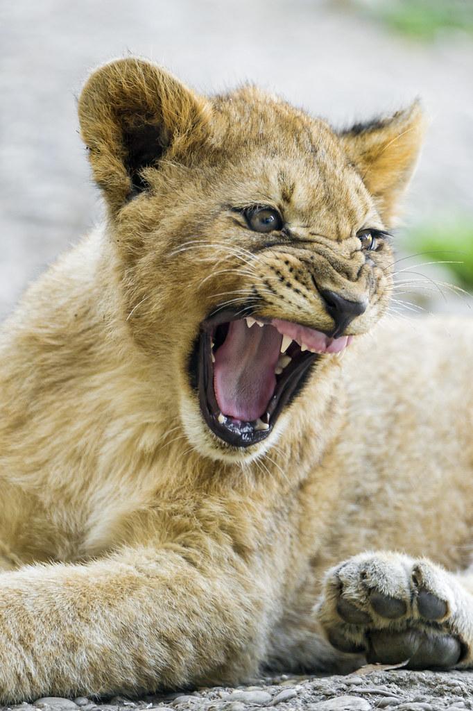 Big cub yawn!