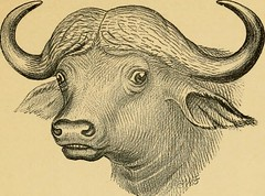 "Image from page 238 of ""Horn measurements and weights of the great game of the world: being a record for the use of sportsmen and naturalists"" (1892)"