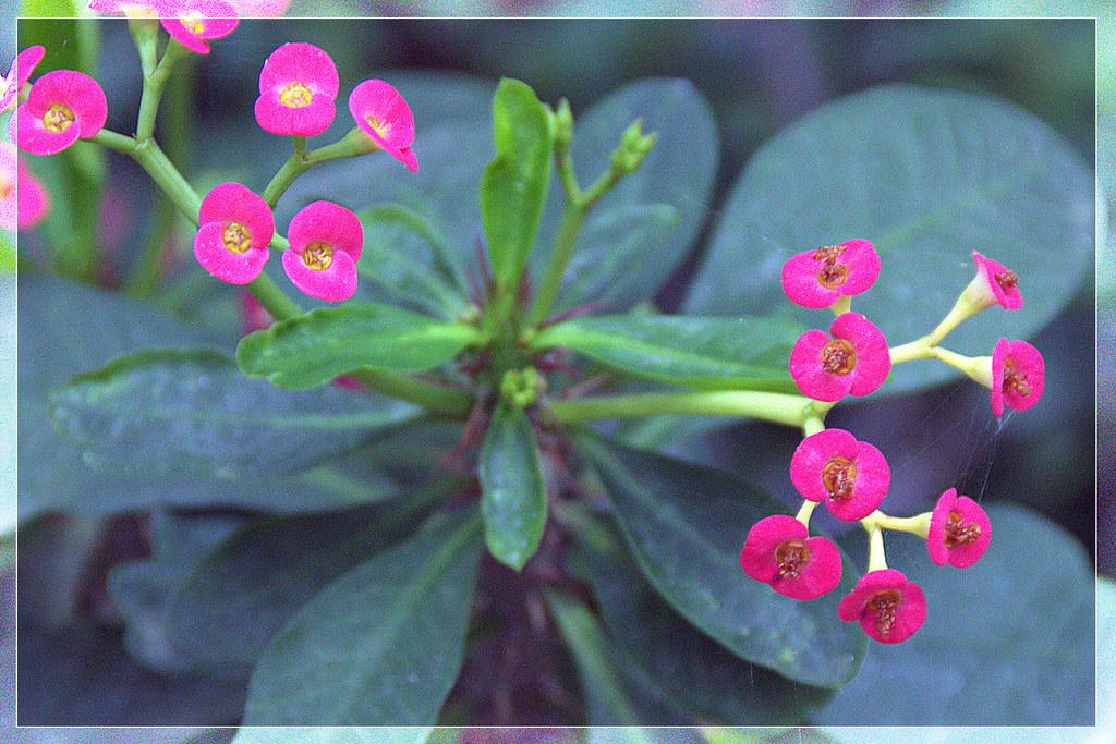 euphorbia mili variegata roseana