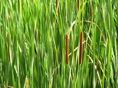 prairie, agriculture, field, grass, plant, chrysopogon zizanioides, hierochloe, green, paddy field, grassland,