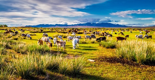 sky nature horizontal clouds day goat wideangle mongolia agriculture livestock bovidae 自然 province 자연 colorimage mongolels 하늘 구름 bulgan eventoedungulate artiodactyla 염소 bovid aimag capraaegagrushircus монголулс 家畜 몽골 mongoluls 가축 소목 canon24mmf14lii elsentasarkhai булган 偶蹄目 牛科 家山羊 蒙古国 булганаймаг mongγolulus thegreatsteppe landoftheafirsts анхдагчдыннутаг elsiintasarkhai tasarkhaiels 소과