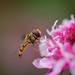 Marmalade Fly - Episyrphus balteatus