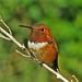Rufous Hummingbird (Selasphorus rufus), adult male. Sandia Mountains, New Mexico, USA. by cbrozek21