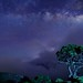 星夜圓柏@合歡北峰  Single-seed Juniper @ Mt. Hehuan by Vincent_Ting
