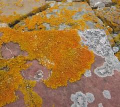 Scotland lichens
