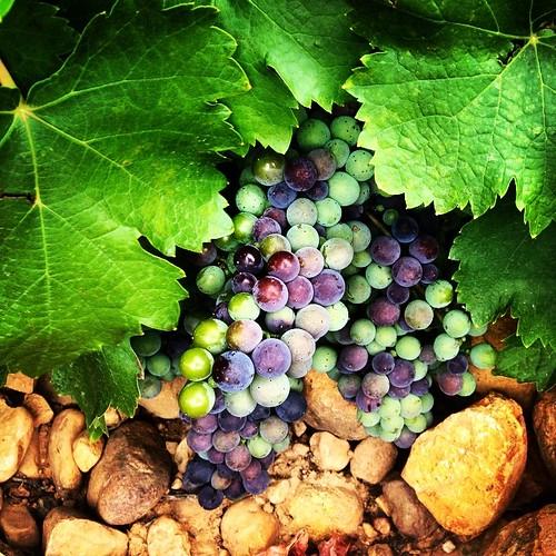 En un par de meses la uva estará lista para sacarle su mejor jugo. #valdearia #vino #vendimia #bodega #sanestebandenogales