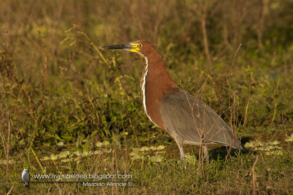 Hocó colorado (Rufescent tiger-Heron) Tigrisoma lineatum
