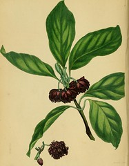 """Image from page 221 of """"Paxton's Magazine of Botany and Register of Flowering Plants"""" (1838)"""