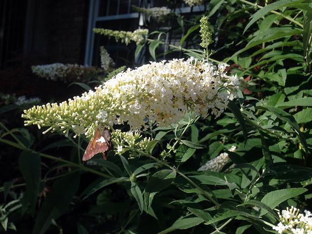 0814-butterflybush