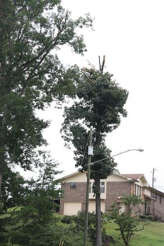 Clipped Tree / P2013-0814D031