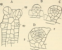 "Image from page 395 of ""The structure and development of mosses and ferns (Archegoniatae)"" (1918)"