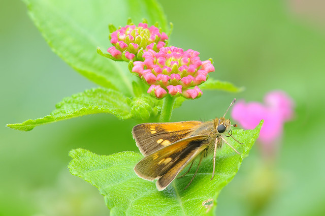 Tawny-edged Skipper (Female)
