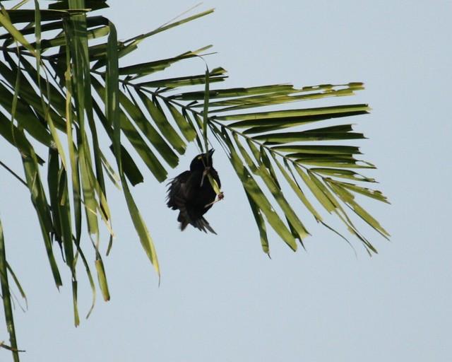 Ploceus nigerrimus nigerrimus