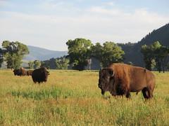 Bison in Grand Teton