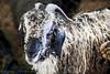 BedHead Sheep
