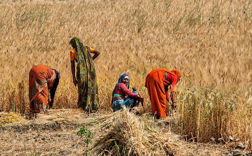 travel india rural work women farming harvest madhyapradesh raccolto