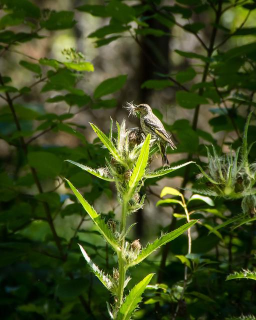 bird eating thistle