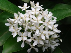 White indian flower