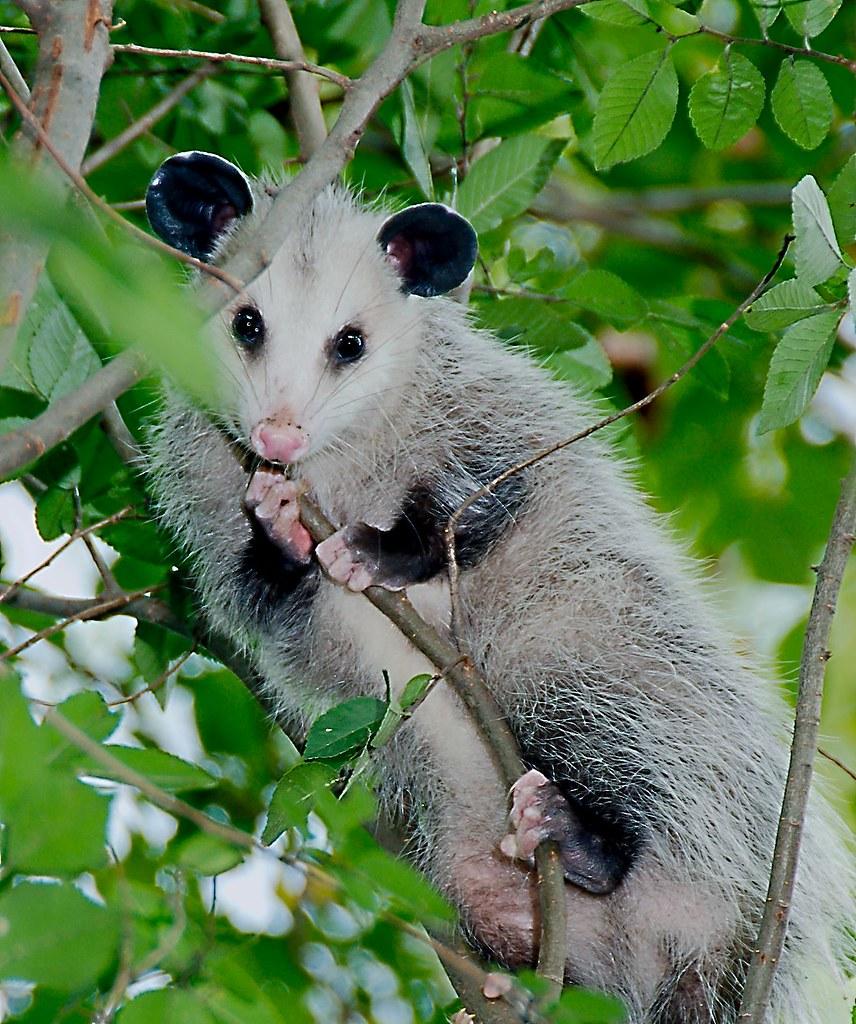 Virginia Opossum (Didelphis virginiana)_3_1
