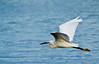 Great egret cruising 3