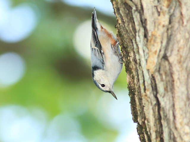 White-breasted Nuthatch 3-20140919