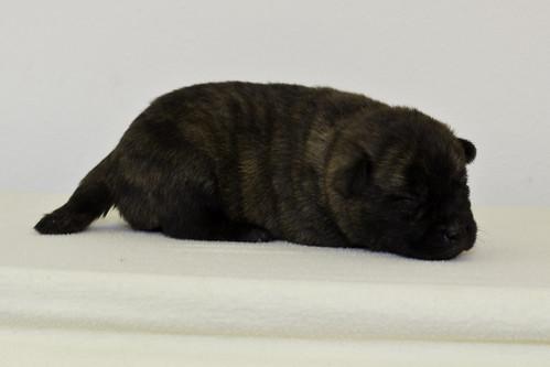 Nori-Litter2-10Days-Puppy2(male)d
