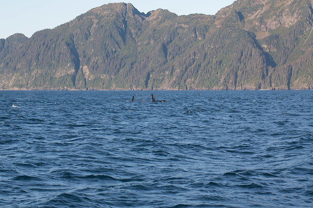 Resurrection Bay - Orca Whales