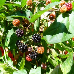 blackberry, evergreen, berry, plant, flora, chokeberry, fruit, dewberry,