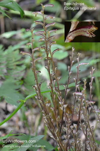 Beechdrops, Cancer Drops, Clapwort, Virginia Broomrape - Epifagus virginiana