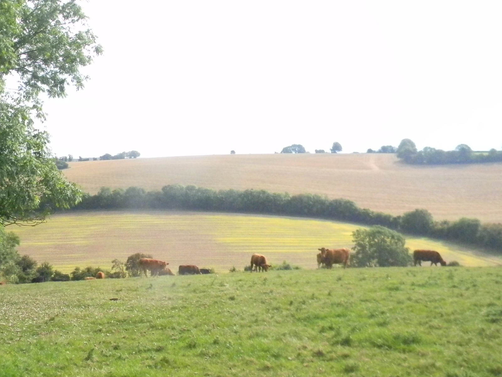 Cows in a field Saunderton via Bledlow