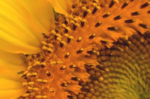 flowers summer macro nature field yellow closeup golden blossoms september seeds sunflower pollen blooms gormanfarm jennypansing