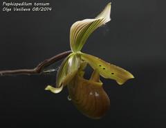 Paphiopedilum tonsum