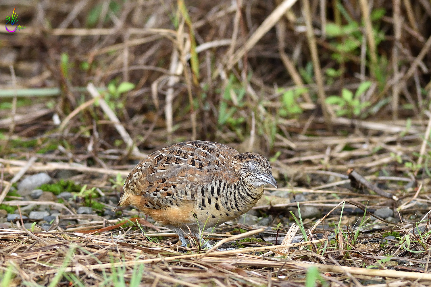 Barred_Buttonquail_7145