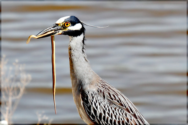 Yellow-Crowned Night Heron having Snake for Lunch