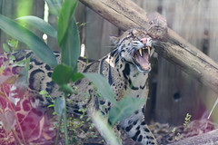 Clouded Leopard Meowing
