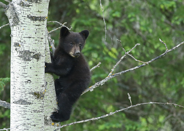 Black Bear Cub... 11, Canon EOS 5D MARK III, EF400mm f/5.6L USM