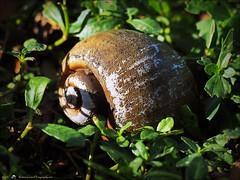 2017-03-24_P3240005_ snail shell,Crescent Lake