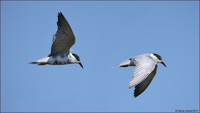 Whiskered Tern (Chlidonias hybrida) in flight