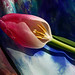 tulip exposed by The tamed shrew