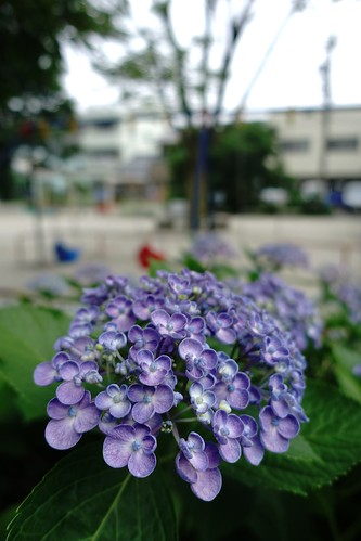 The flowers of Hydrangea in commuting 2014/06 No.3.