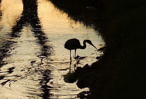 sunset lake black color reflection heron water silhouette yellow pond nikon flickr florida coolpix bradenton tricoloredheron wader tricolored p510 mullhaupt jimmullhaupt