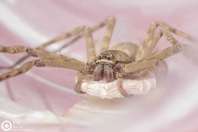 Heteropoda venatoria ♀ with egg sac