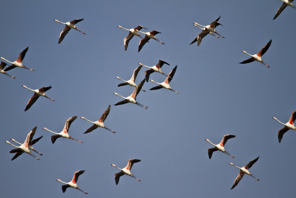 01_06_20149616061120_flamingo_flight