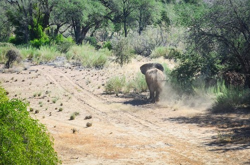 Tracking the desert elephants in the Ugab riverbed near Brandberg, Namibia