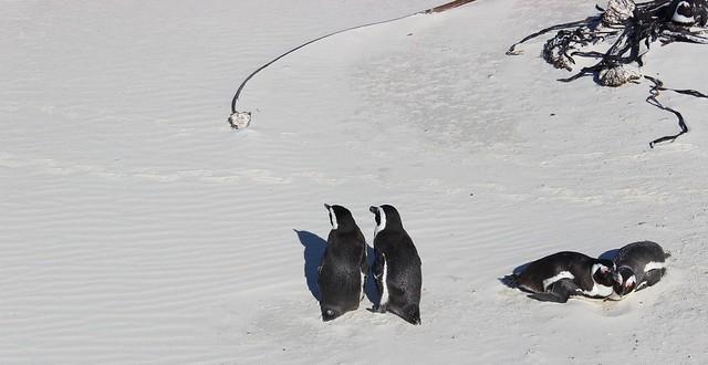 pingviinit boulders beach