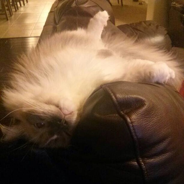 Fascinating creature. #ragdoll #ragdolls #cat #cats #cute #catstagram #catsofinstagram #kittens #kitties #ragdollcats #pets #petsofinstagram #ilovemycat