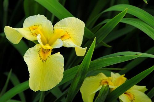 Iris Matsuri 008r