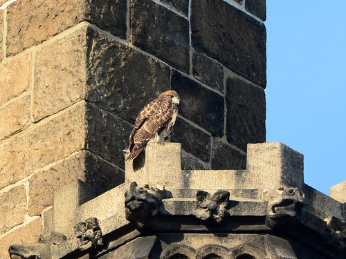 Cathedral Hawk Fledgling (2523)