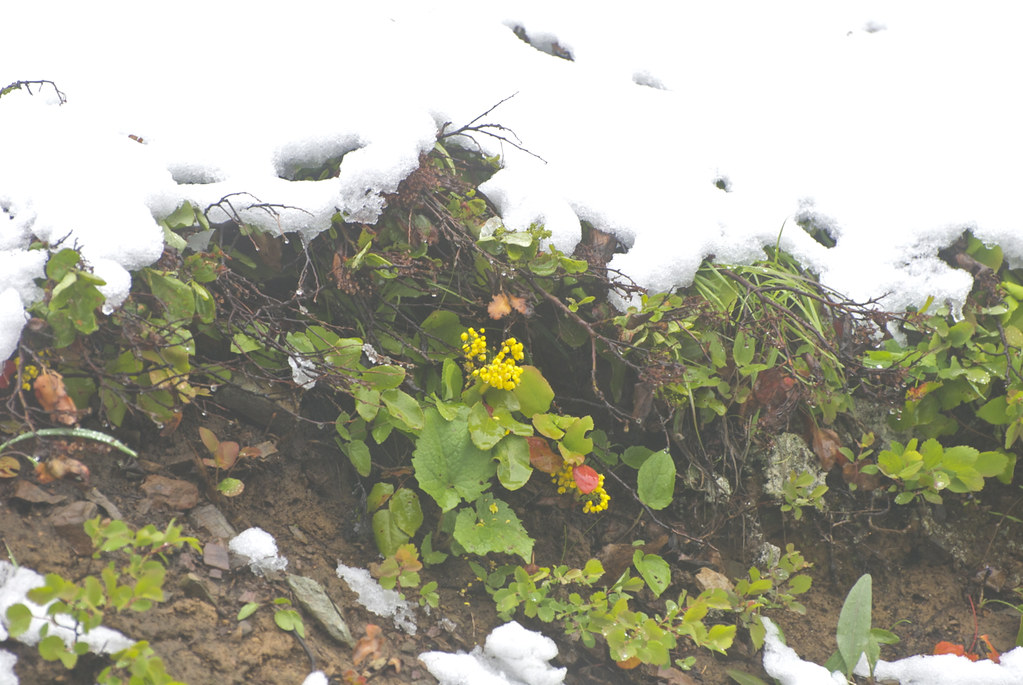 Oregon grape in June snow