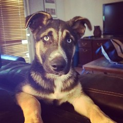 Handsome boy. #shepsky #puppy #husky #germanshepherddog #dogstagram #dogsofinstagram